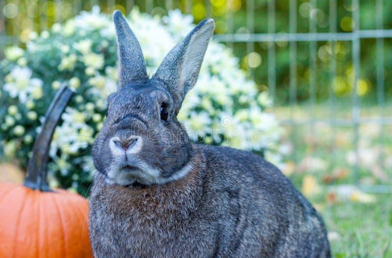 Pequeño conejo nacional en un ajuste del otoño en la puesta del sol con las calabazas y las momias en fondo fotografía de archivo libre de regalías