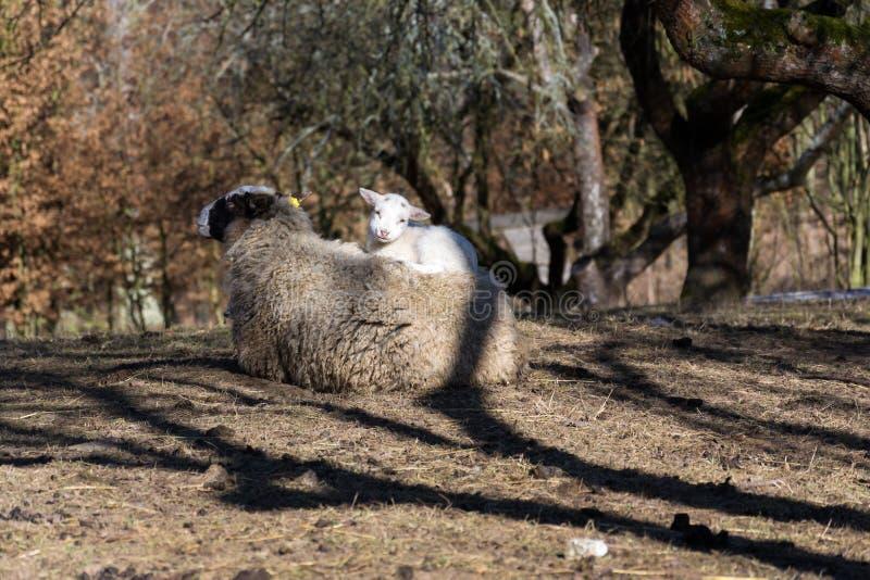 Pequeño cordero recién nacido lindo que miente en las ovejas, concepto maternal del amor fotografía de archivo libre de regalías
