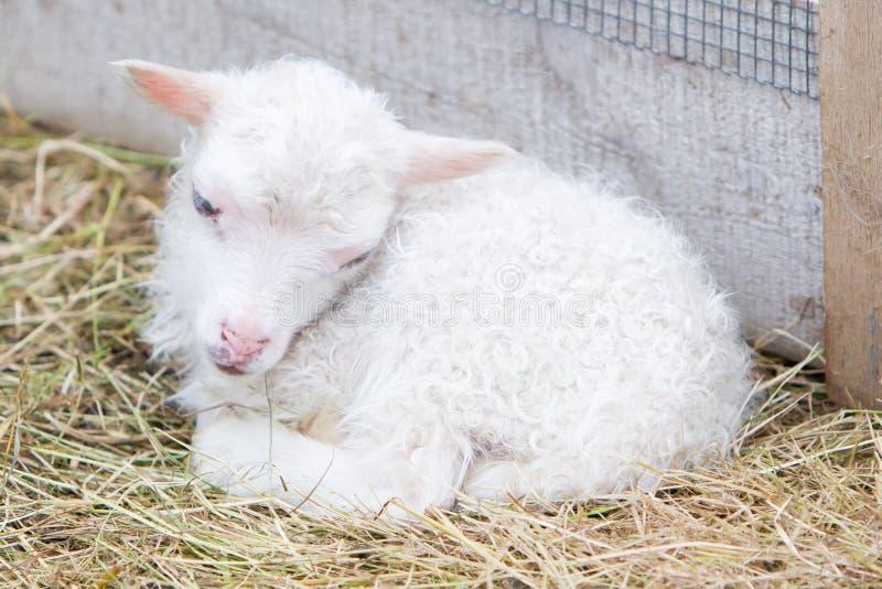 Pequeño cordero recién nacido que descansa sobre la hierba imagen de archivo libre de regalías