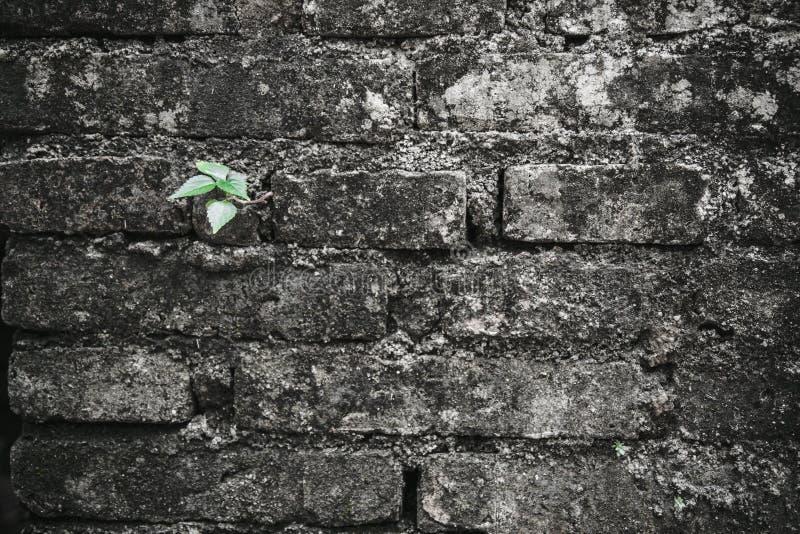 Pequeño crecimiento verde del árbol para arriba del ladrillo viejo de la grieta imagen de archivo libre de regalías