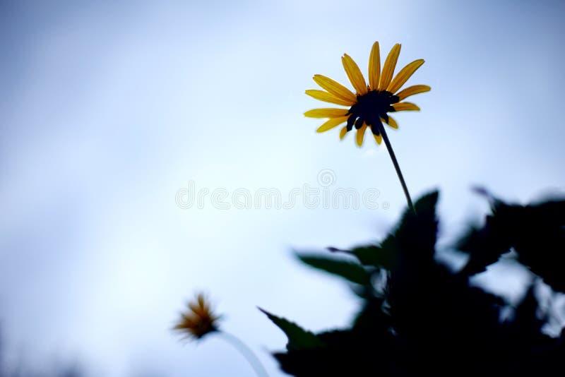 Pequeño crisantemo fotos de archivo