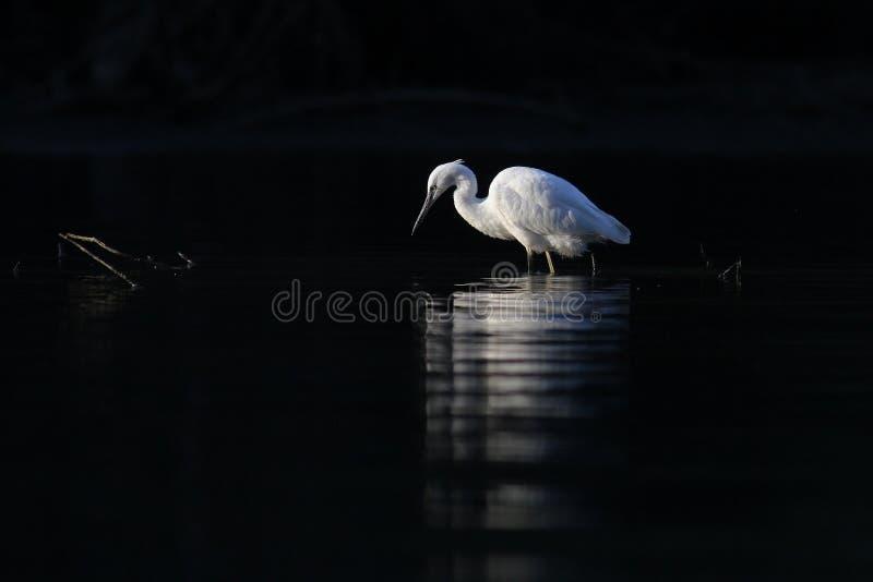 Pequeño Egret fotografía de archivo