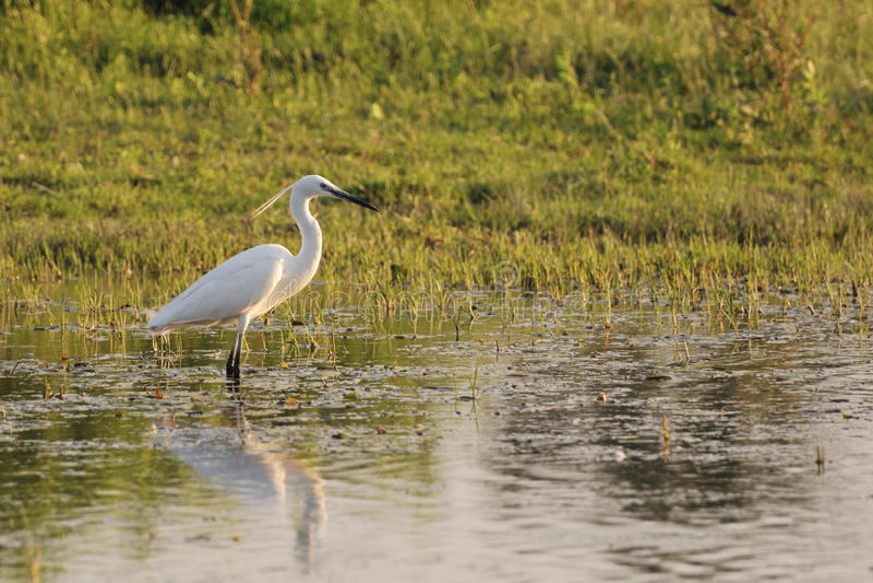 Pequeño egret (Egretta Garzetta) en agua baja imagen de archivo