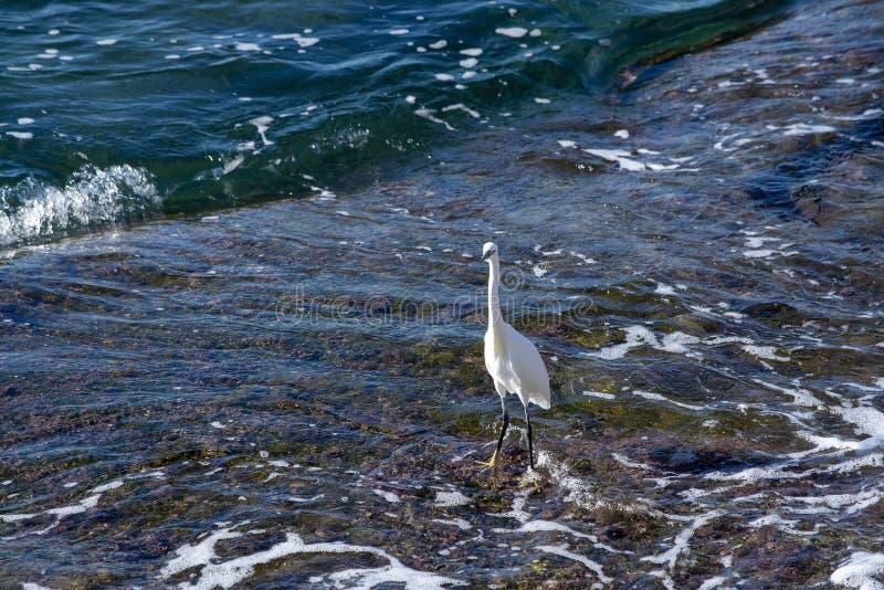 Pequeño Egret en el río fotografía de archivo libre de regalías