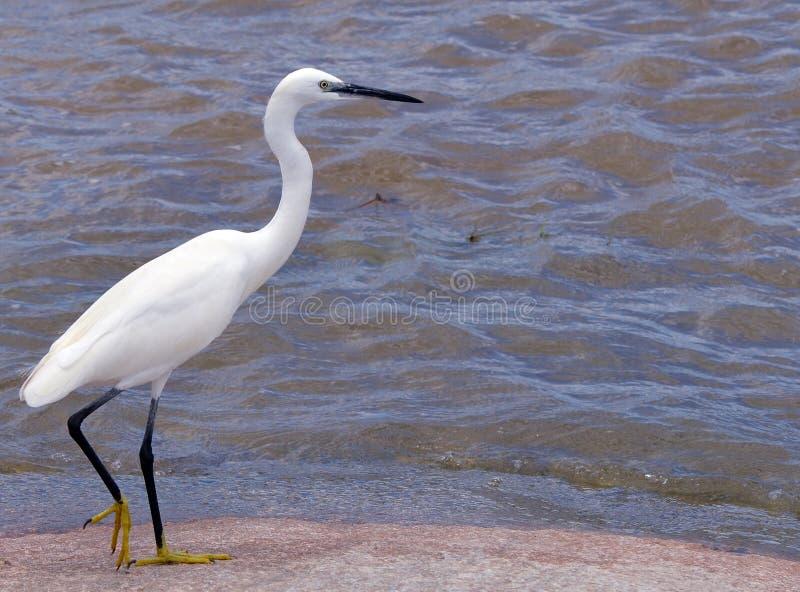 Pequeño Egret (garzetta del Egretta) foto de archivo libre de regalías