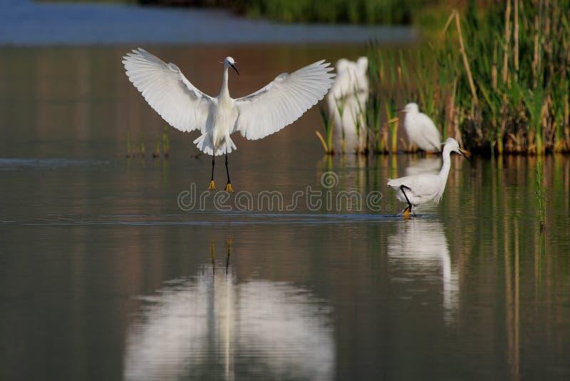 Pequeño Egret (garzetta del Egretta) imagenes de archivo