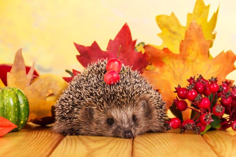 Pequeño erizo divertido en la tabla, en las hojas de otoño brillantes del fondo imagen de archivo