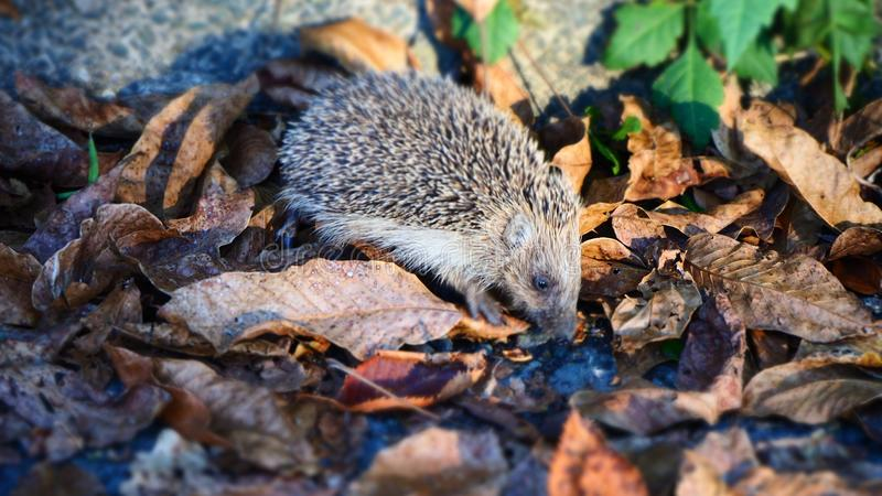 Pequeño erizo lindo que busca para la comida en Autumn Leaves imágenes de archivo libres de regalías