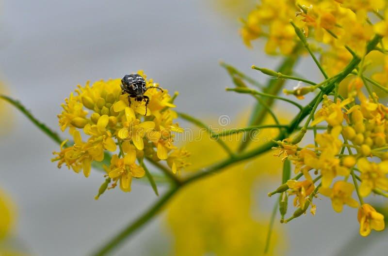 Pequeño escarabajo, escarabajo en la flor imagenes de archivo
