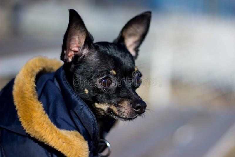 Pequeño frío de la chaqueta del perro en el invierno fotografía de archivo