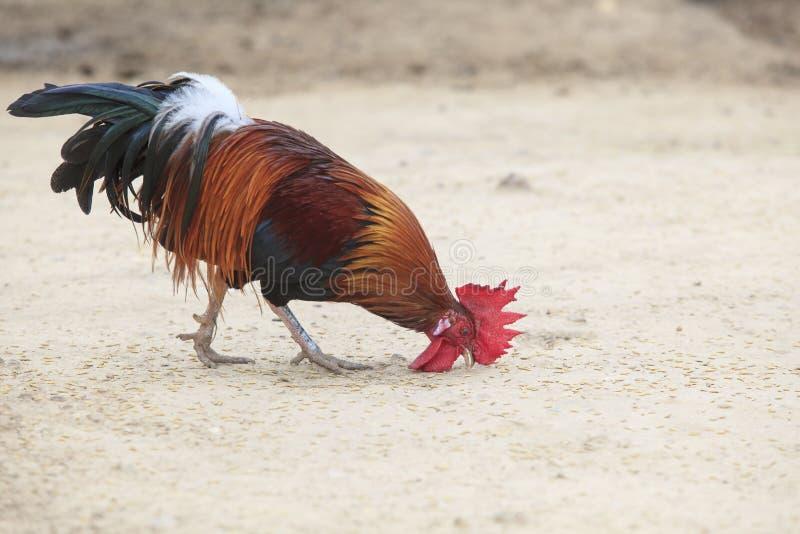Pequeño gallo masculino nacional tailandés que come arroz de arroz en la tierra fotografía de archivo libre de regalías