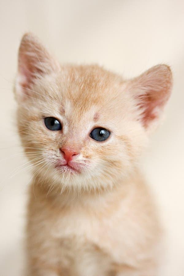 Download Pequeño gatito imagen de archivo. Imagen de purebred, gatito - 7150577