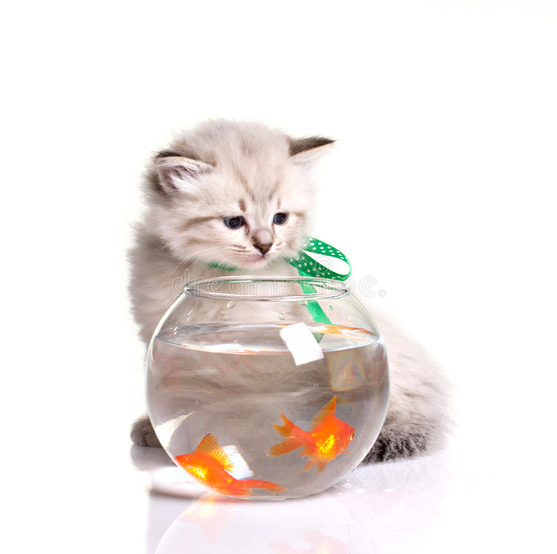 Pequeños gatito y goldfishes imagen de archivo libre de regalías