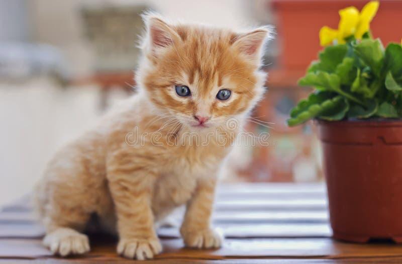 Pequeño gatito con el pelo largo anaranjado imagenes de archivo