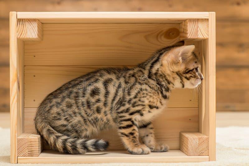 pequeño gatito criado en línea pura de Bengala que juega en una caja de madera fotografía de archivo