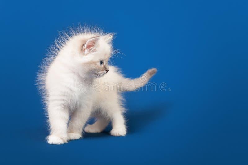 Pequeño gatito de Neva Masquerade del siberiano imagenes de archivo