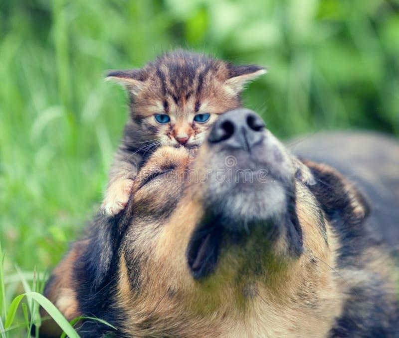 Pequeño gatito en la cabeza de perros fotografía de archivo