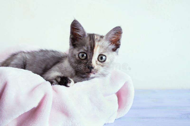 Pequeño gatito gris yace sobre una manta rosa. En el fondo de una pared blanca imagenes de archivo