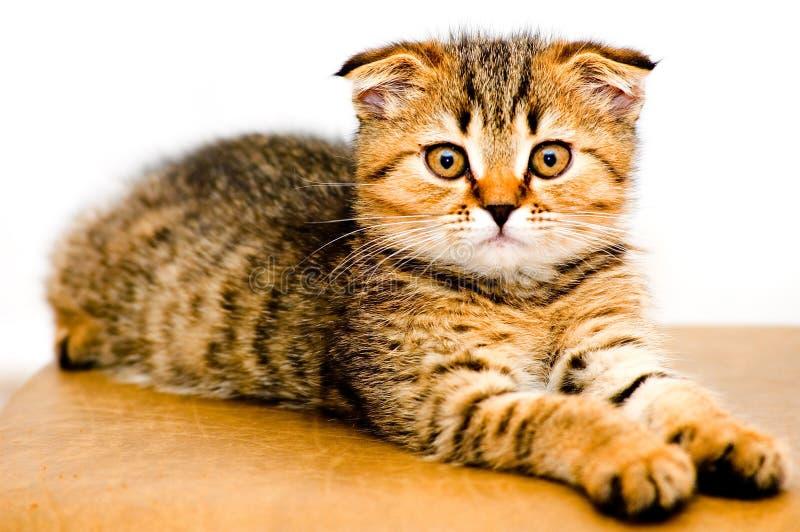 Pequeño gatito juguetón imagen de archivo libre de regalías