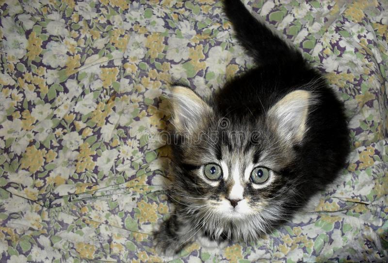 Pequeño gatito mullido gris rayado lindo adorable imagen de archivo libre de regalías