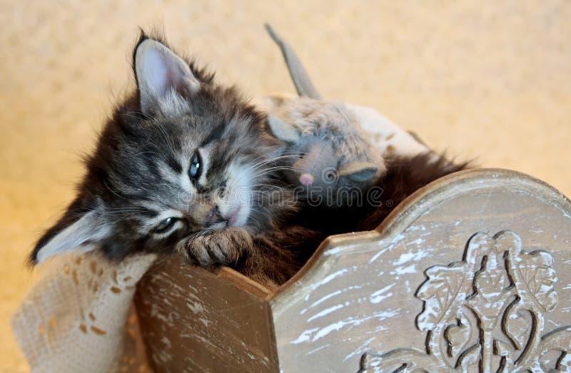 Pequeño gatito noruego soñoliento del gato del bosque foto de archivo libre de regalías