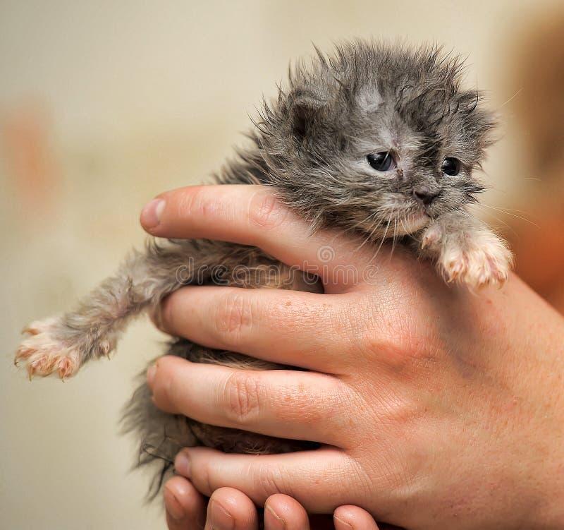 Pequeño gatito recién nacido mullido gris imagenes de archivo