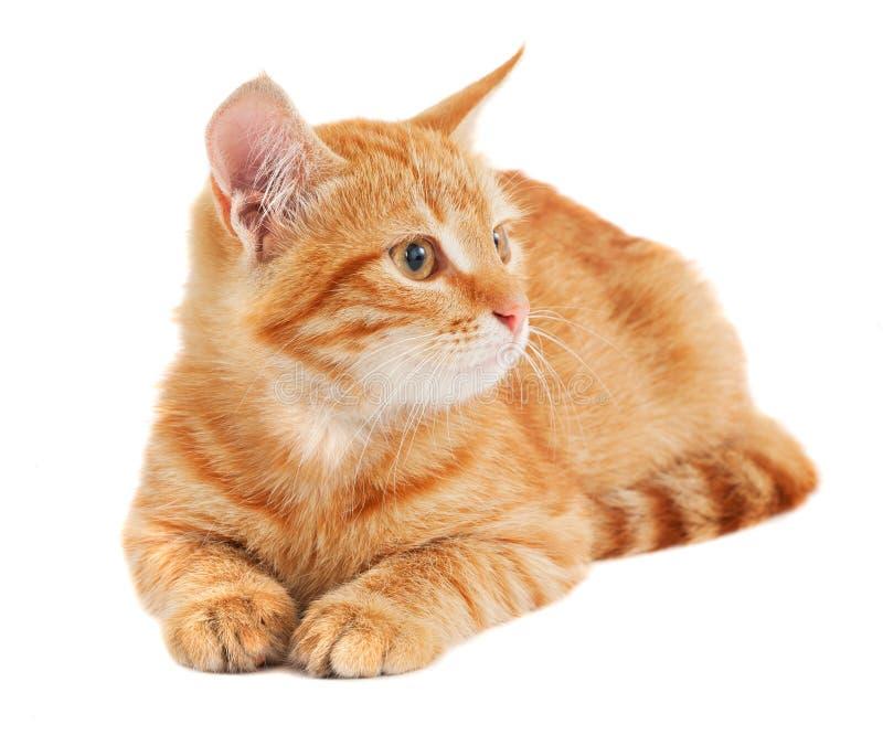 Pequeño gatito rojo lindo fotografía de archivo libre de regalías