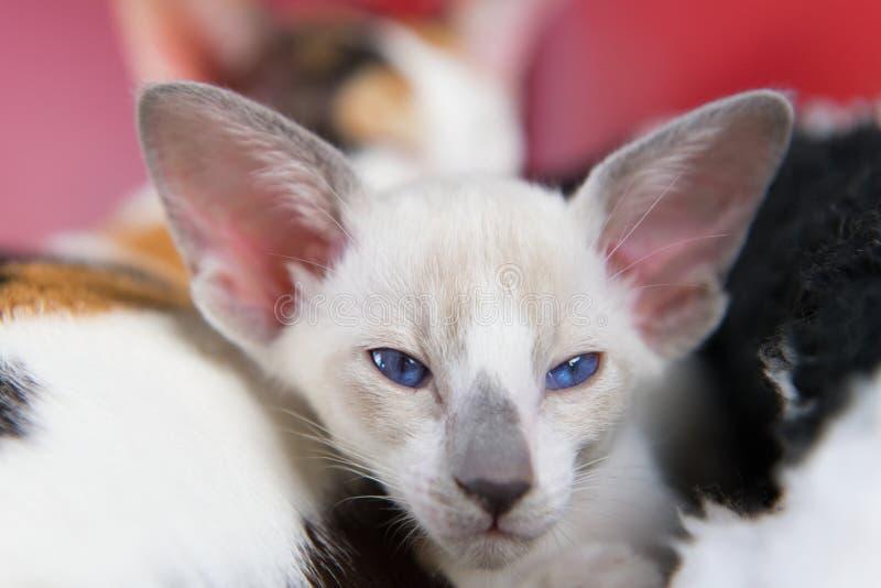 pequeño gatito siamés imagen de archivo libre de regalías