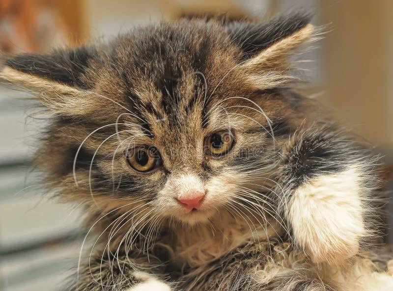 Pequeño gatito siberiano asustado foto de archivo libre de regalías