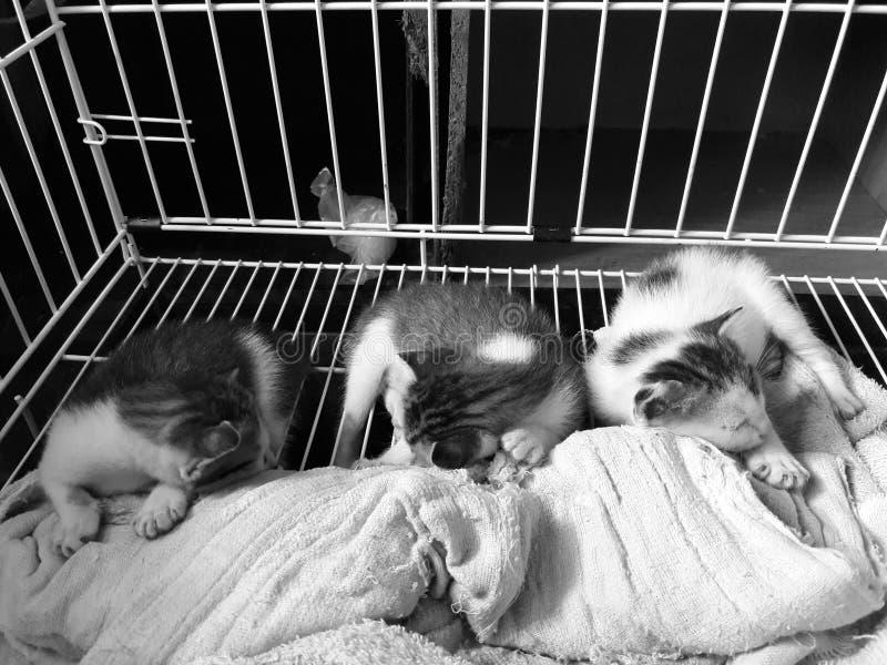 pequeño gatito tres con la escala gris fotografía de archivo