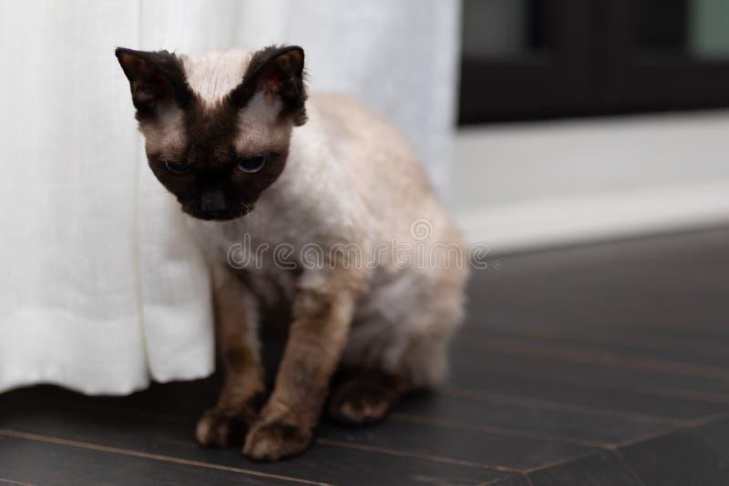 Pequeño gatito triste El gato Blu Point de Devon Rex mecanografía en el interior casero Foco selectivo, bokeh fotos de archivo libres de regalías