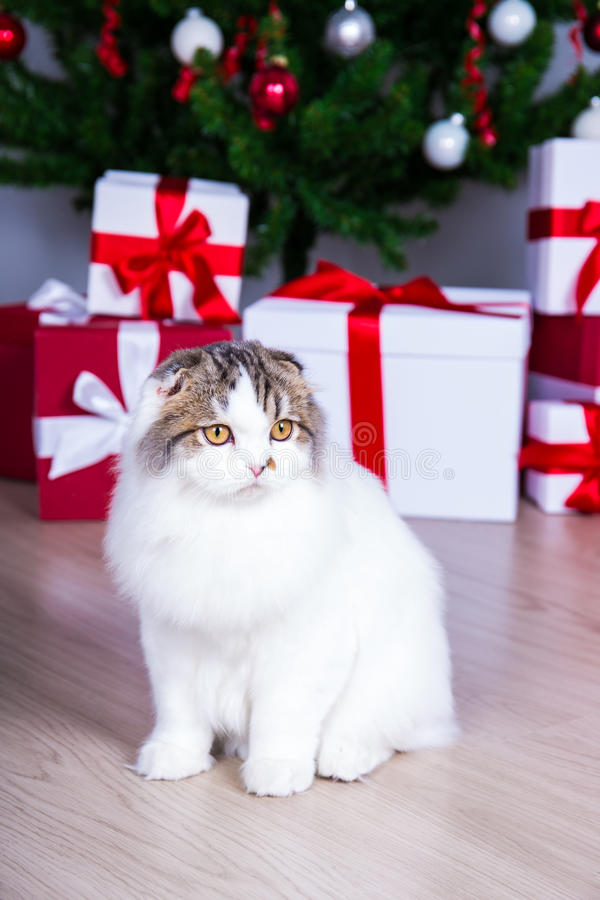 Pequeño gato británico lindo con el árbol de navidad y los regalos fotografía de archivo