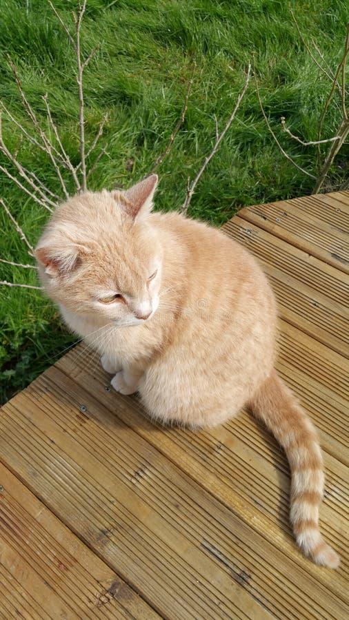 Pequeño gato del jengibre imagenes de archivo