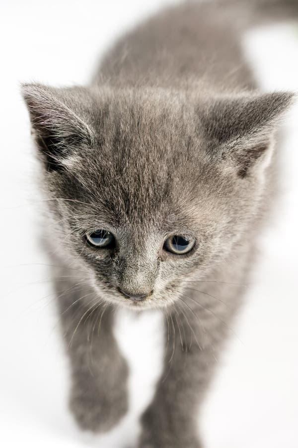 Pequeño gato gris del gatito en foco selectivo sobre el fondo blanco fotografía de archivo libre de regalías