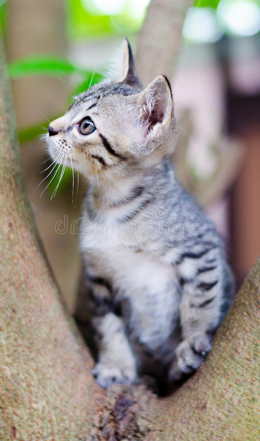 Pequeño gato tailandés. foto de archivo