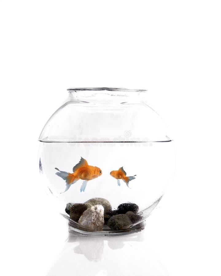 Pequeño goldfish del goldfish grande imagen de archivo libre de regalías