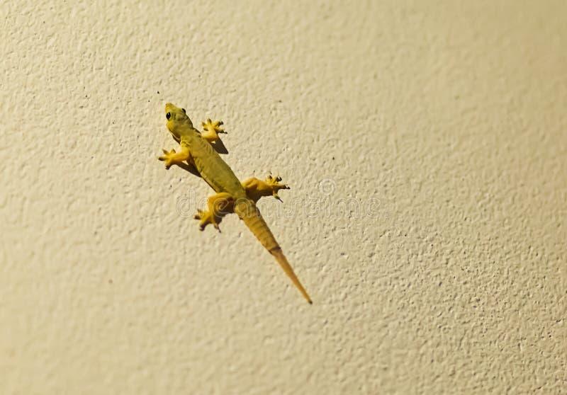 Pequeño habitante ágil joven del lagarto verde de la fauna tailandesa en un fondo de piedra foto de archivo