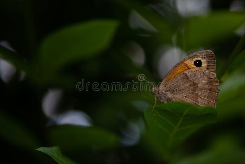 Pequeño Heath Butterfly Resting On Leaf fotografía de archivo libre de regalías