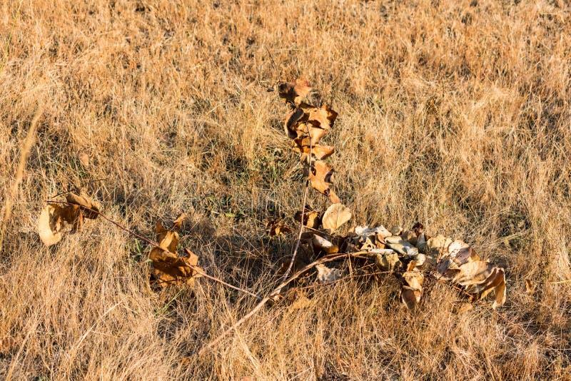 Pequeño herbaje seco en el campo que considera impresionante la mañana en la estación del invierno foto de archivo