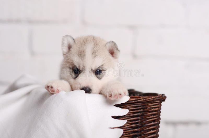 Pequeño husky siberiano lindo del perrito en cesta marrón del rotang en blanco foto de archivo libre de regalías