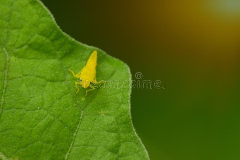 Pequeño insecto amarillo en la hoja verde en luz del sol imagen de archivo