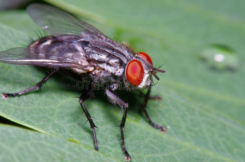 Pequeño insecto de la mosca en el jardín fotografía de archivo