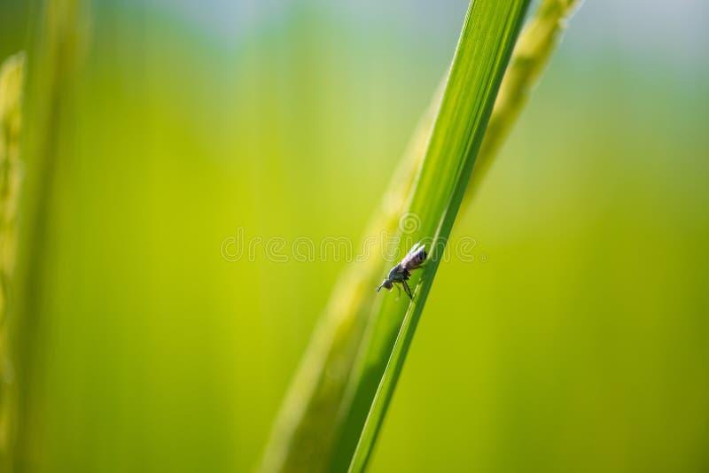 Pequeño insecto del foco suave en fondo de la hoja del arroz del verde de la falta de definición imagen de archivo libre de regalías