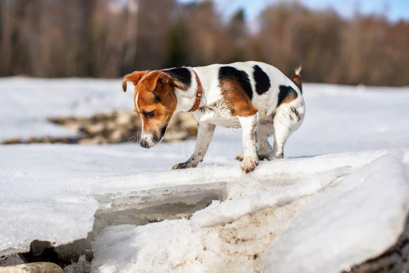 Pequeño Jack Russell curioso, hielo de fusión de exploración en el río del deshielo en la primavera, sus pies sucios de fango fotografía de archivo