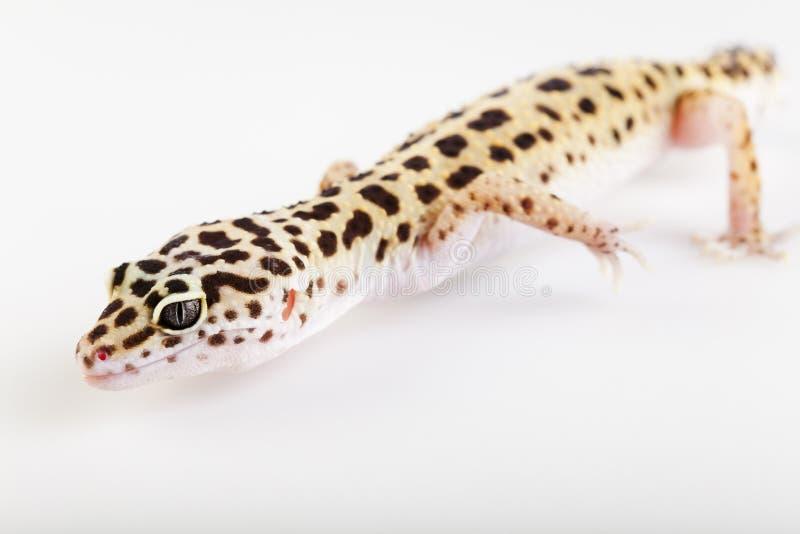 Pequeño lagarto del reptil del gecko imagenes de archivo
