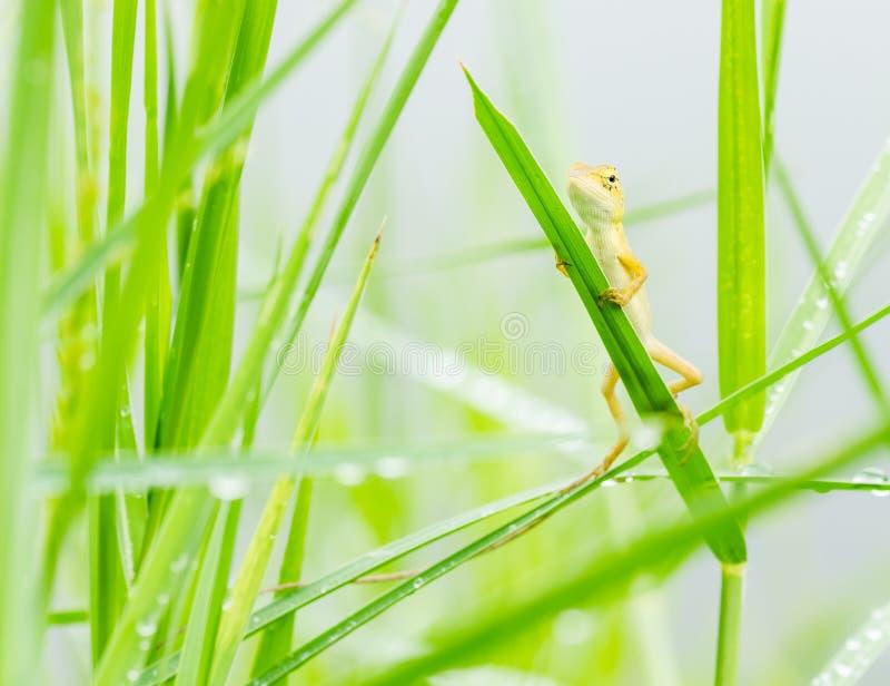 Pequeño lagarto que oculta en hierba verde de las hojas frescas fotos de archivo