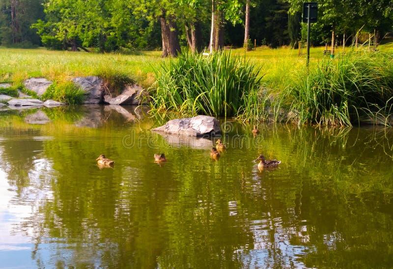 Pequeño lago con los patos en el parque del verano foto de archivo
