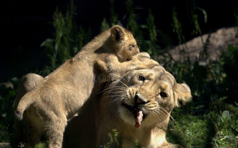 Pequeño león del bebé que juega con su madre en un parque zoológico imagen de archivo