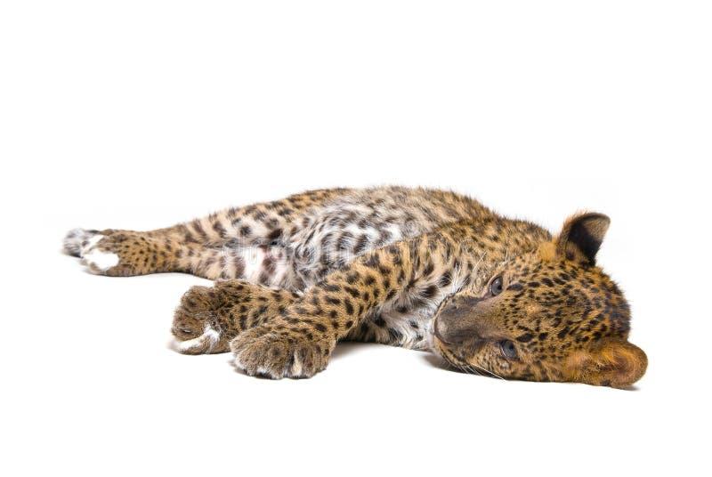 Pequeño leopardo imagenes de archivo