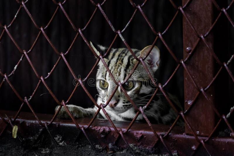 Pequeño leopardo detrás de la parrilla fotografía de archivo